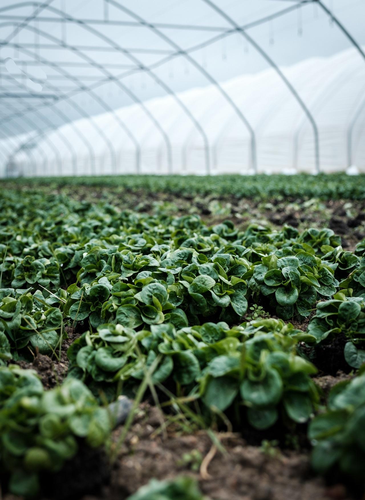 Producción de hortalizas bajo agricultura protegida