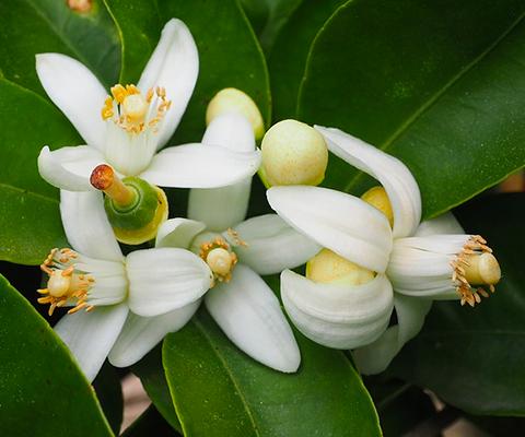 El azahar proviene de plantas como el naranjo y el limón, entre otros cítricos; las siete hierbas que conforman esta medicina natural son la pasiflora, tila, toronjil, zapote blanco, flor de azahar, té limón y cidra.